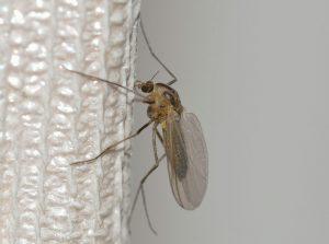Zanzara sulla zanzariera