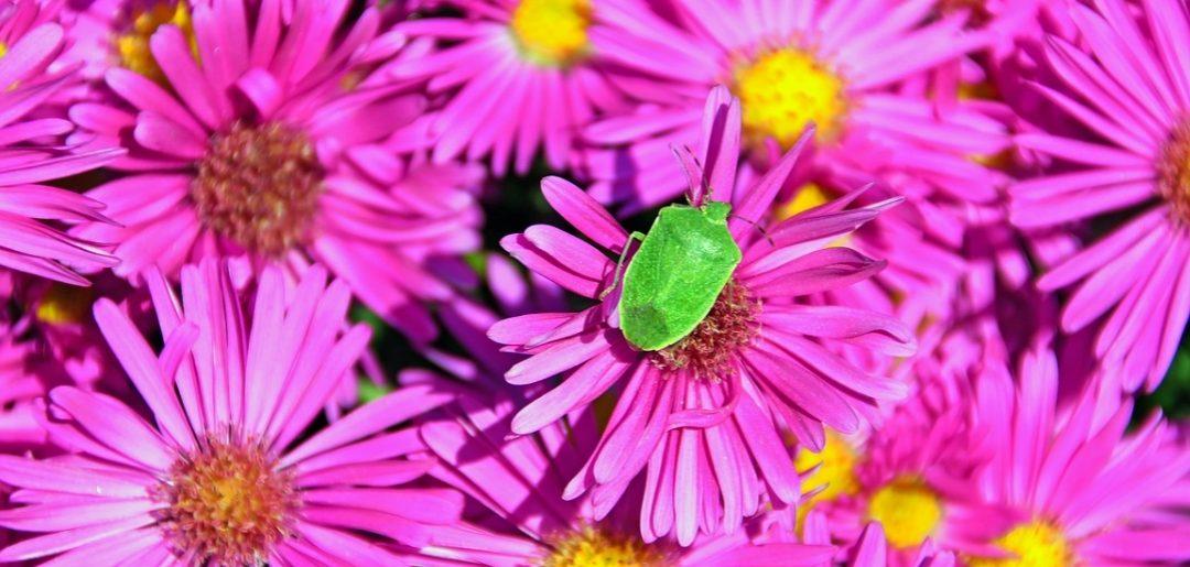 Cimici verdi e marroni in casa rimedi e repellenti
