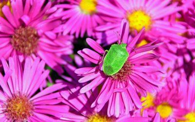 Cimici verdi e marroni in casa: rimedi e repellenti