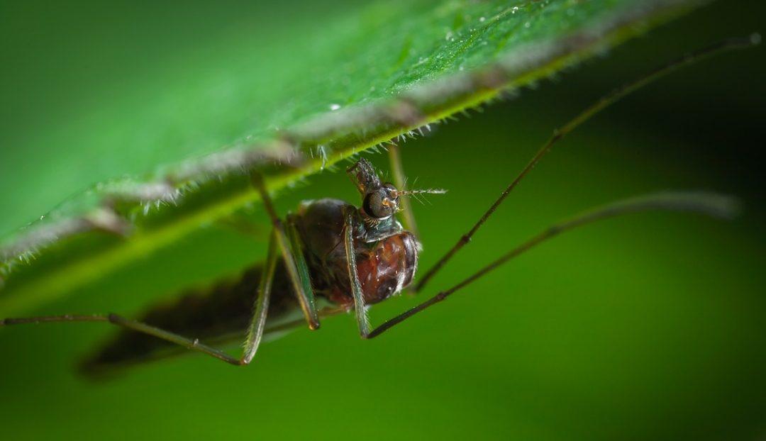 Zanzara quanto vive, punture e rimedi naturali