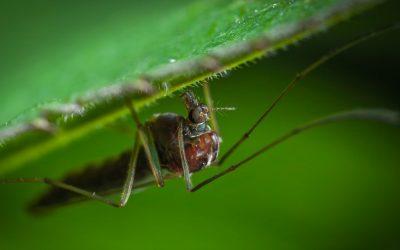 Zanzara: quanto vive, punture e rimedi naturali