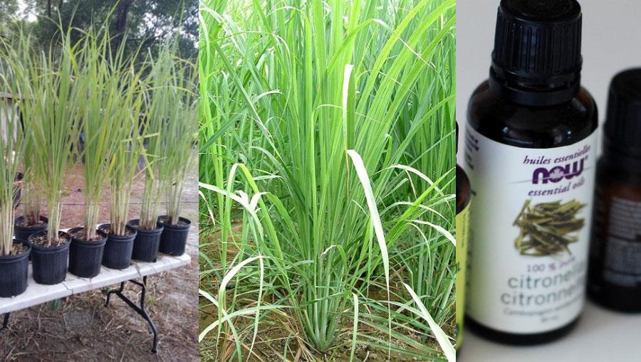Citronella pianta antizanzare: coltivazione e candela
